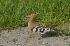 Hoopoefågel i den naturliga livsmiljön (Upupaepops) Arkivbilder