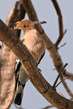 Hoopoefågel med att placera för kryp Fotografering för Bildbyråer