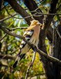 Hoopoefågel på ett träd med mat Arkivfoto