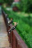 Hoopoes Stock Images