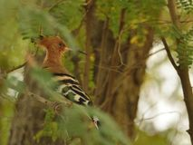 Common Hoopoe in the middle of green leaves and branches royalty free stock photos