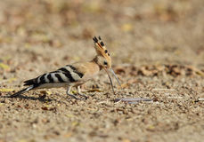 Hoopoes with earthworm Royalty Free Stock Photography