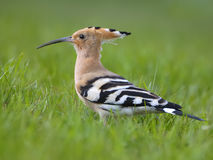Hoopoes Stock Image