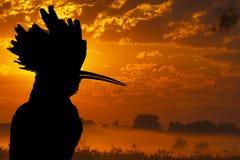 Hoopoeschattenbild vor dem hintergrund des nebelhaften Morgens Lizenzfreie Stockbilder