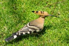 Hoopoo, zwart-witte en rozeachtige vogel van Noord-Afrika Royalty-vrije Stock Foto's