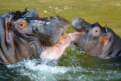 ¡Hooray para los hipopótamos! Foto de archivo