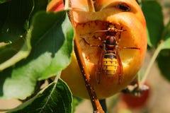 Hoornaar op appel. Een hoornaar zit nog lekker te genieten op een appel op het einde van de zomer. a hornet is still enjoying on an apple at the end of the royalty free stock image