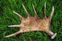 Hoornen van een eland Stock Foto's