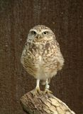 Hooting Owl 2. A hooting-owl in the zoo stock photos