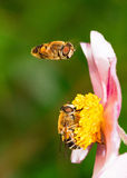 Hoover bee Stock Image