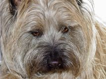 Hoover the Cairn Terrier Modeling Stock Photography