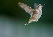 Hoovering humming bird. Hooverring tiny little humming bird in flight royalty free stock photo