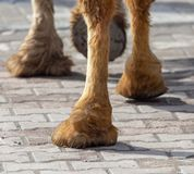 The hooves of a camel walking along the cobblestones.  royalty free stock image