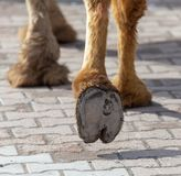 The hooves of a camel walking along the cobblestones.  royalty free stock photography