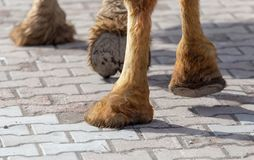 The hooves of a camel walking along the cobblestones.  stock photos
