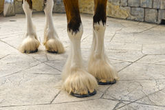Hooves of Clydesdale horse. Legs and hooves of Clydesdale draft horse royalty free stock photography