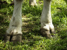 Hooves Royalty Free Stock Photos