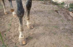 Hooves of a gray horse. royalty free stock photo