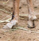 Hooves Stock Images