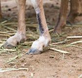 Hooves Stock Photo