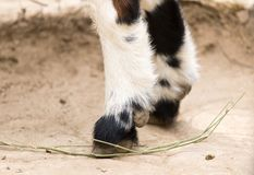 Hooves Royalty Free Stock Image