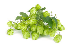 Hop 06. Green twig of hop plant Stock Images