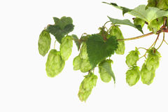 Hop. Green hop on white, plant Royalty Free Stock Image