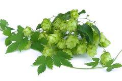 Hop 11. Fresh green hop twig, plant on white Royalty Free Stock Photo