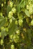 Hop Stock Image