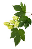 Hop. Cone of hop with clipping path Stock Image
