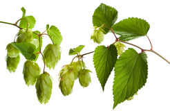 Hop. Two branches of hop (genus Humulus) with green leaves isolated on white studio background Royalty Free Stock Image