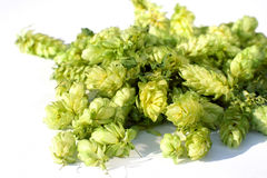 Hop. (genus Humulus)  on white  background Stock Photo