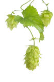 Hop. Fresh green mellow hop ready for brewing beer Stock Image