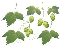 Hop Stock Photography