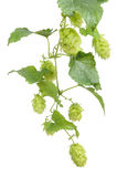 Hop. Fresh green mellow hop ready for brewing beer Royalty Free Stock Photography