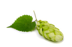 Hop. Ripe hop cone (Humulus lupulus) on white background Royalty Free Stock Images