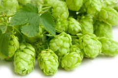 Hop. Fresh Hop with leaf on white background Stock Images