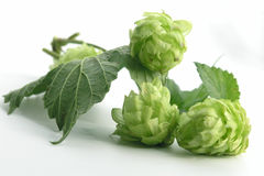Hop. Plants Royalty Free Stock Photography