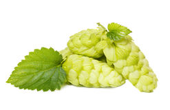 Hop. With green leaf on white Stock Photography