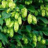 Hop Royalty Free Stock Image