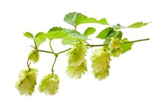 Hop royalty-vrije stock fotografie