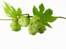 Hop. Close-up of fresh, green hop isolated on white background Stock Photo