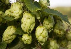 Hop. Close up of green hop plant. Shallow DOF Stock Photography