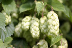 Hop. Natural hop for beer Stock Images