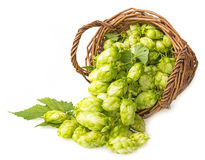 Hop in a basket. Fresh green hop cones in a basket Royalty Free Stock Photography
