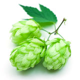 Hop beer. On white Royalty Free Stock Image