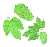 Hop, beer brewing set. Hand-drawn flower and Royalty Free Stock Photos