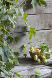 Hop for beer on wooden boards Royalty Free Stock Photo