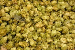 Hop: botanical humulus lupulus Royalty Free Stock Image