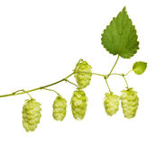 Hop branch Royalty Free Stock Photo